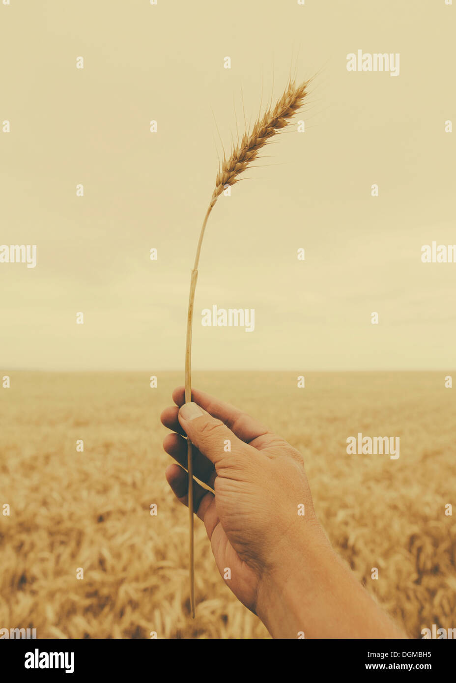 A human hand holding a stalk of wheat with a ripening ear at the top. - Stock Image