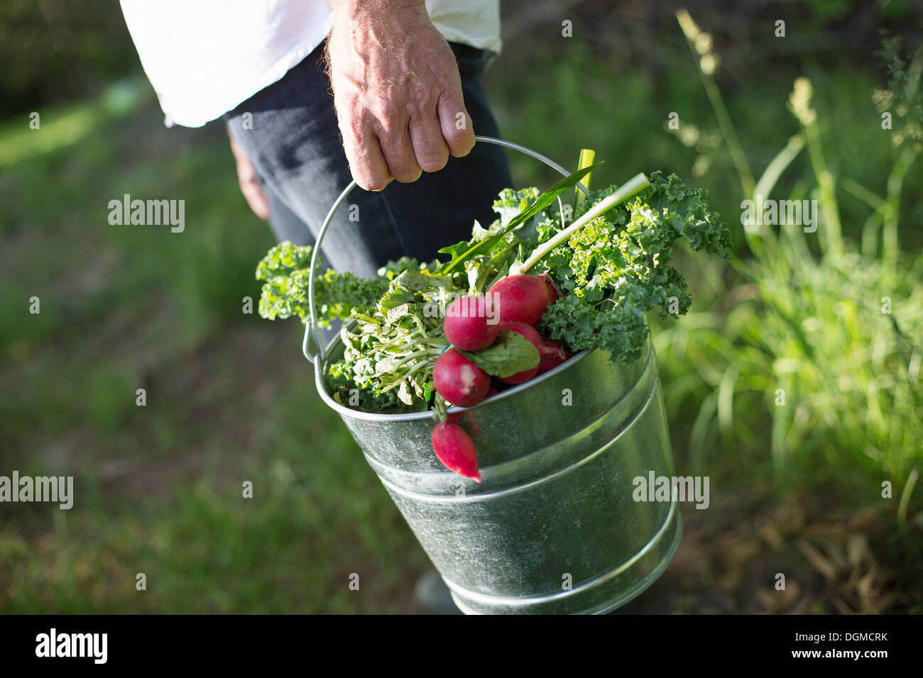 Organic farm. Summer party. A man carrying a metal pail of harvested salad leaves, herbs and vegetables. - Stock Image