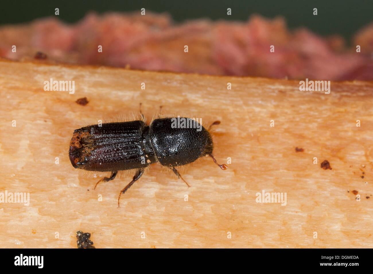 bark beetle, Borkenkäfer, Borken-Käfer, Ips spec., Ips cf. sexdentatus, Schädlinge, Schädling - Stock Image
