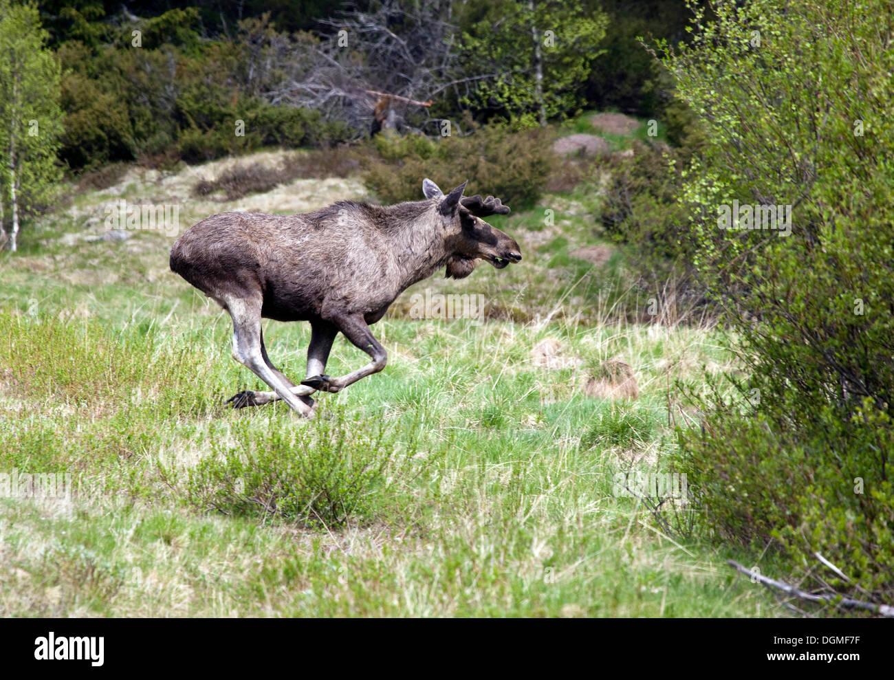 Eurasian elk - photo#38