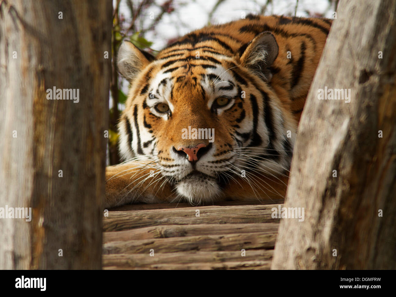Tiger (Panthera tigris), Tiergarten Schönbrunn, Vienna, Vienna State, Austria Stock Photo