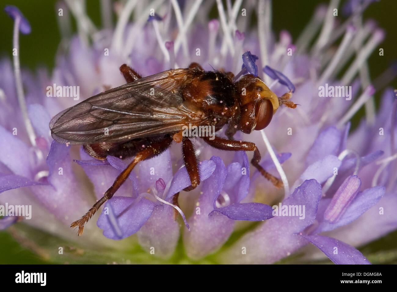 Thick-headed fly, Conopid, Sicus ferrugineus, Dickkopffliege, Dickkopf-Fliege, Blasenkopffliege, Breitstirnblasenkopffliege Stock Photo