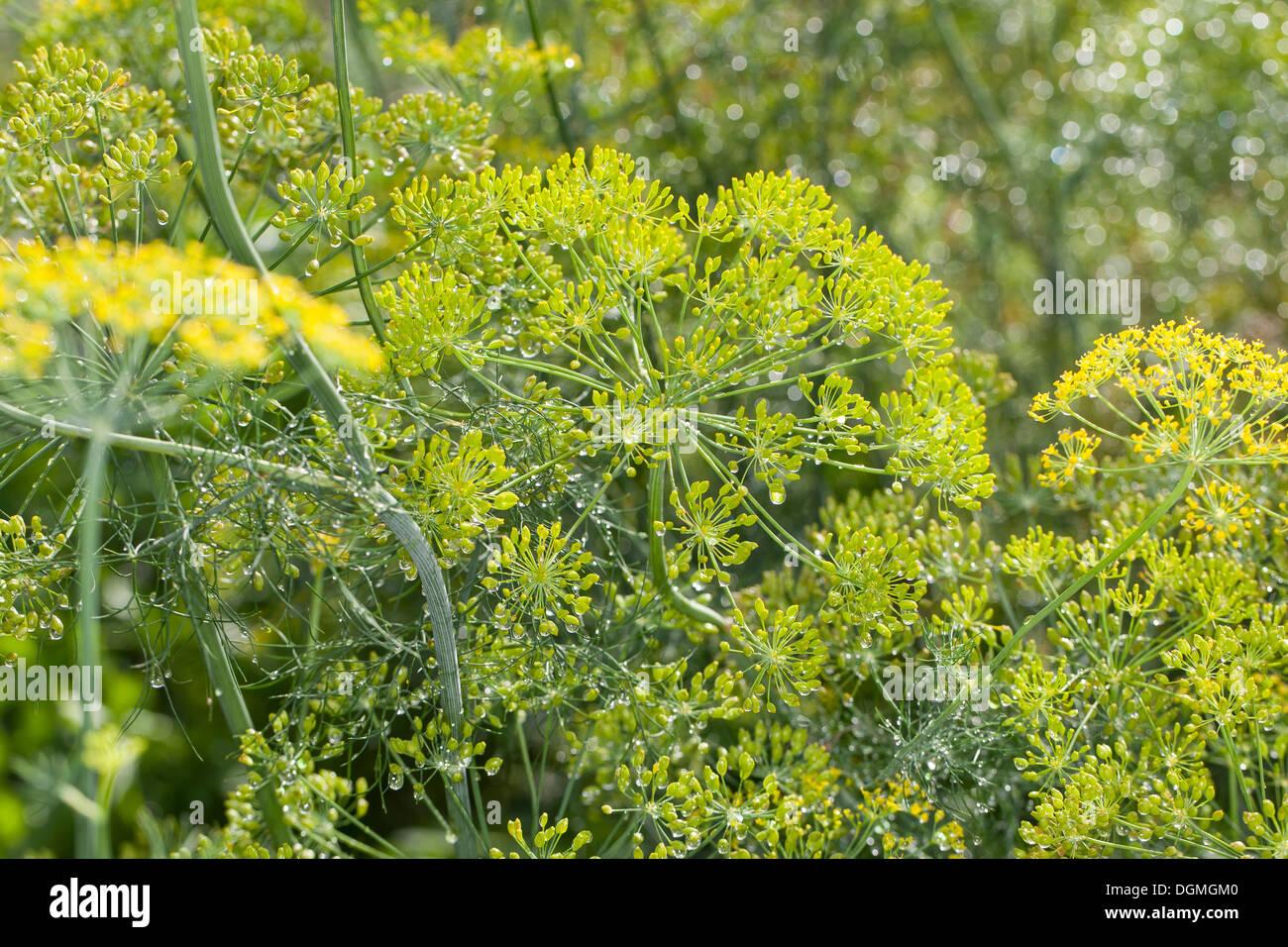 Aneth, Dill, Gurkenkraut, Anethum graveolens, spice, Gewürze, Gewürzpflanze Stock Photo