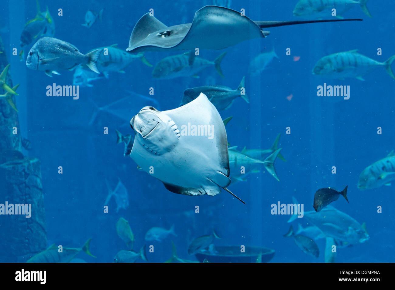 Stingrays in a gigantic aquarium, underwater world of the Ambassador Lagoon, Atlantis Hotel, The Palm Jumeirah, - Stock Image
