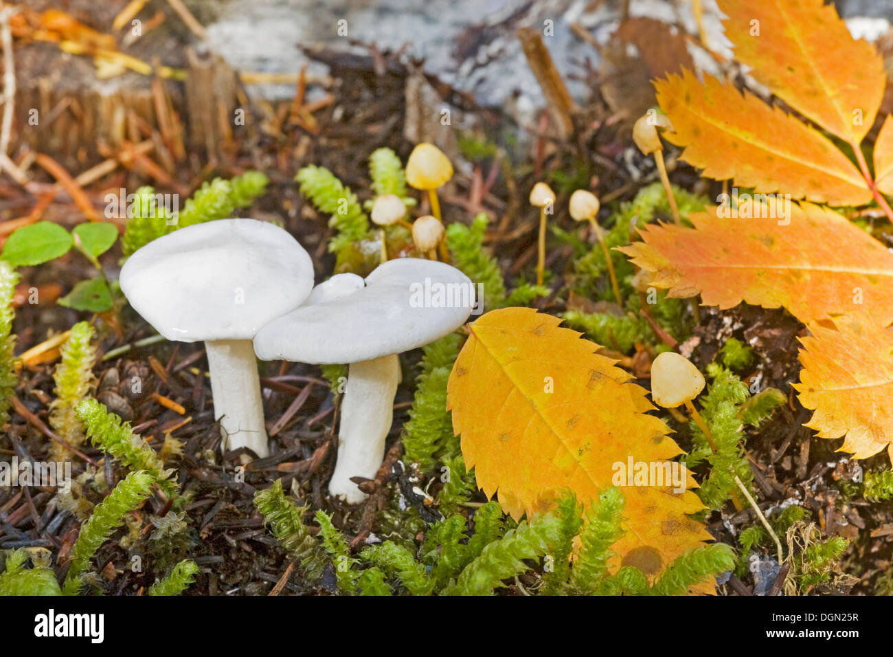 hygrophorus piceae, a snow white mushroom from the Pacific Northwest - Stock Image