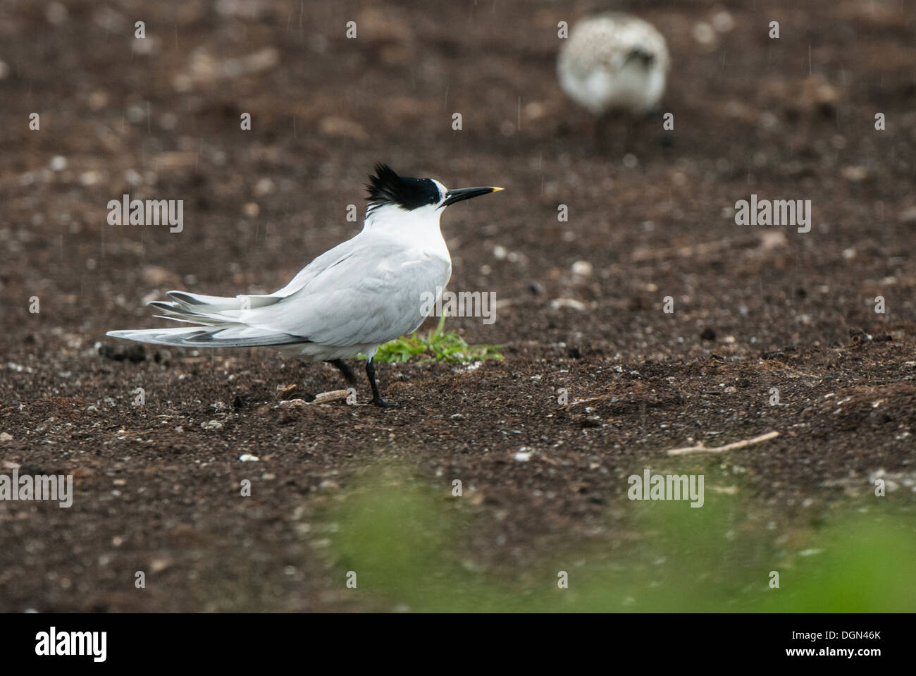Tern on breeding grounds at Farne Islands - Stock Image