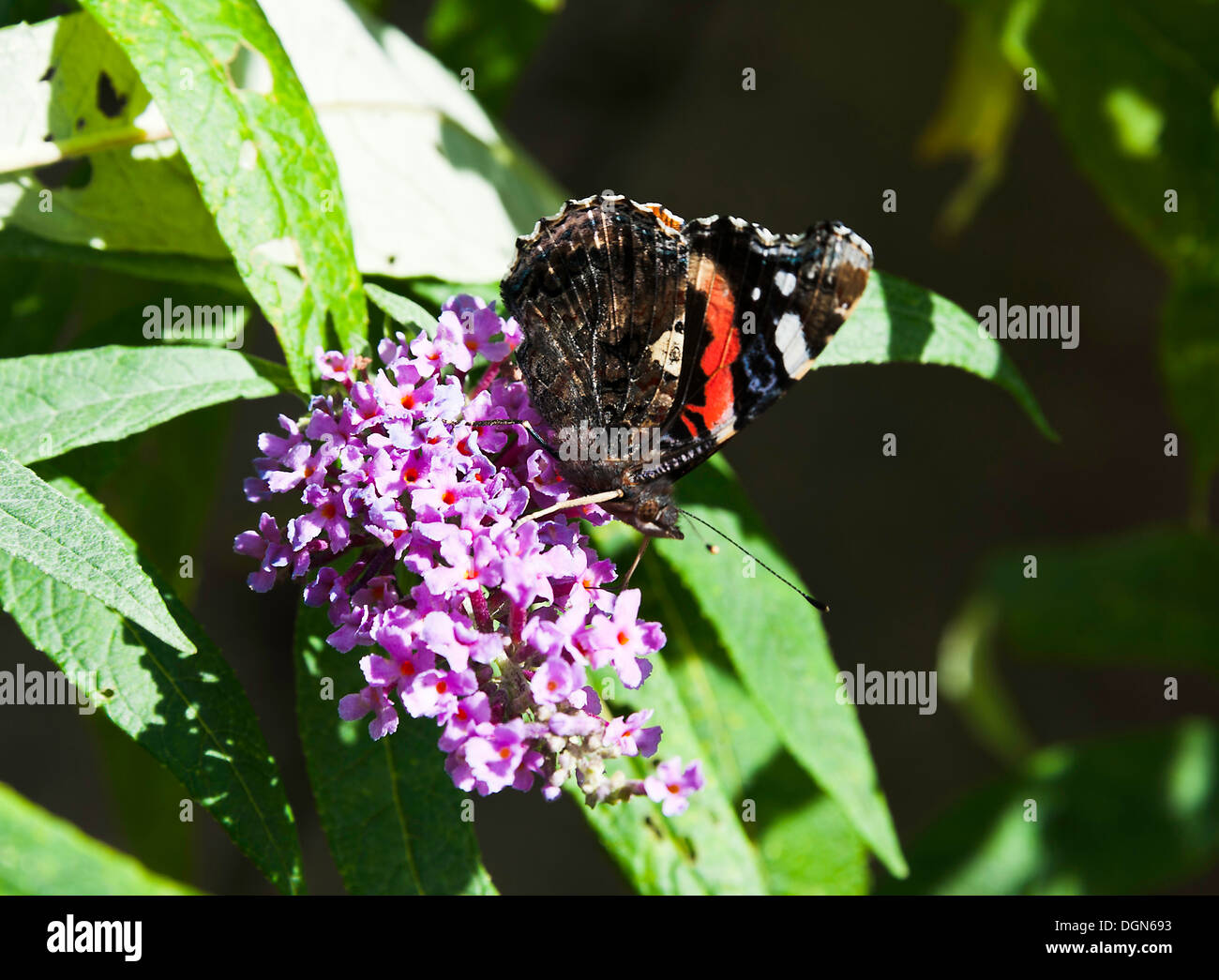 Red Admiral Butterfly Feeding on Nectar on a Buddleja Flower in a Cheshire Garden England United Kingdom UK - Stock Image