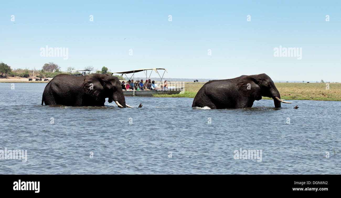 Africa elephant - Two african elephants swimming across the Chobe river watched by a tourist safari boat, Chobe Stock Photo