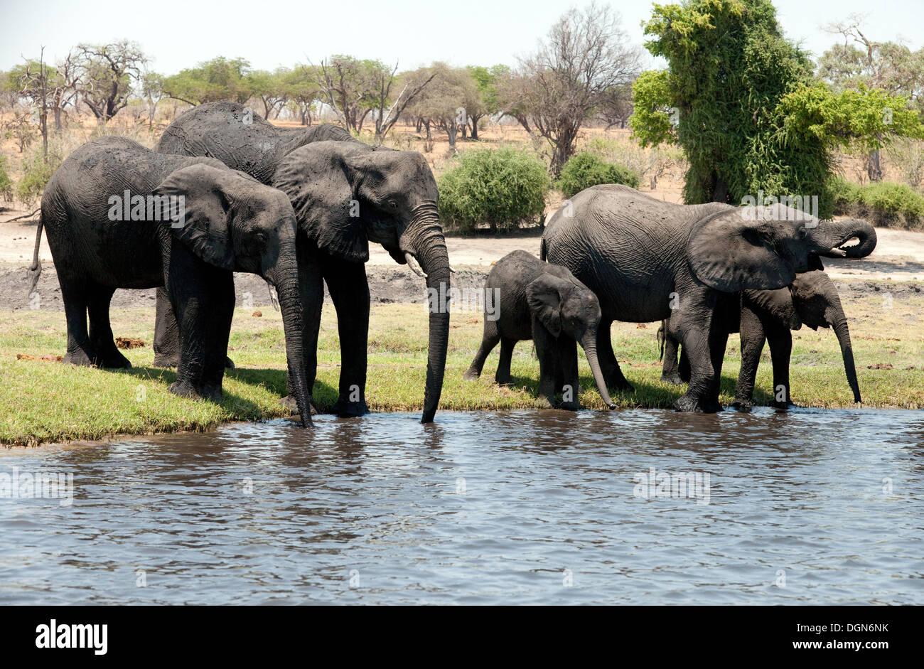 A herd of African elephants drinking, Chobe river, Chobe national park, Botswana Africa - Stock Image