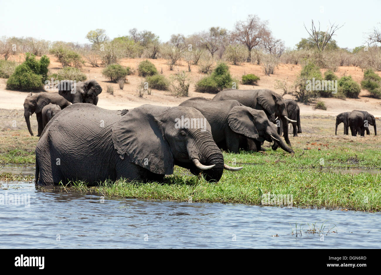 A herd of african elephants ( Loxodonta Africana ) feeding on the banks of the Chobe river, Chobe National Park, Botswana Africa - Stock Image