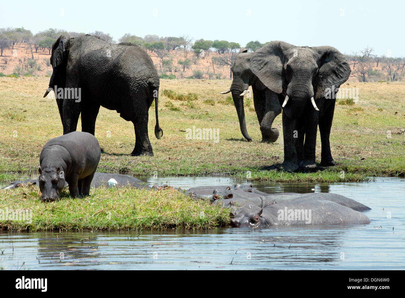 African elephants and hippo on the banks of the River Chobe, Chobe National park, Botswana Africa - Stock Image