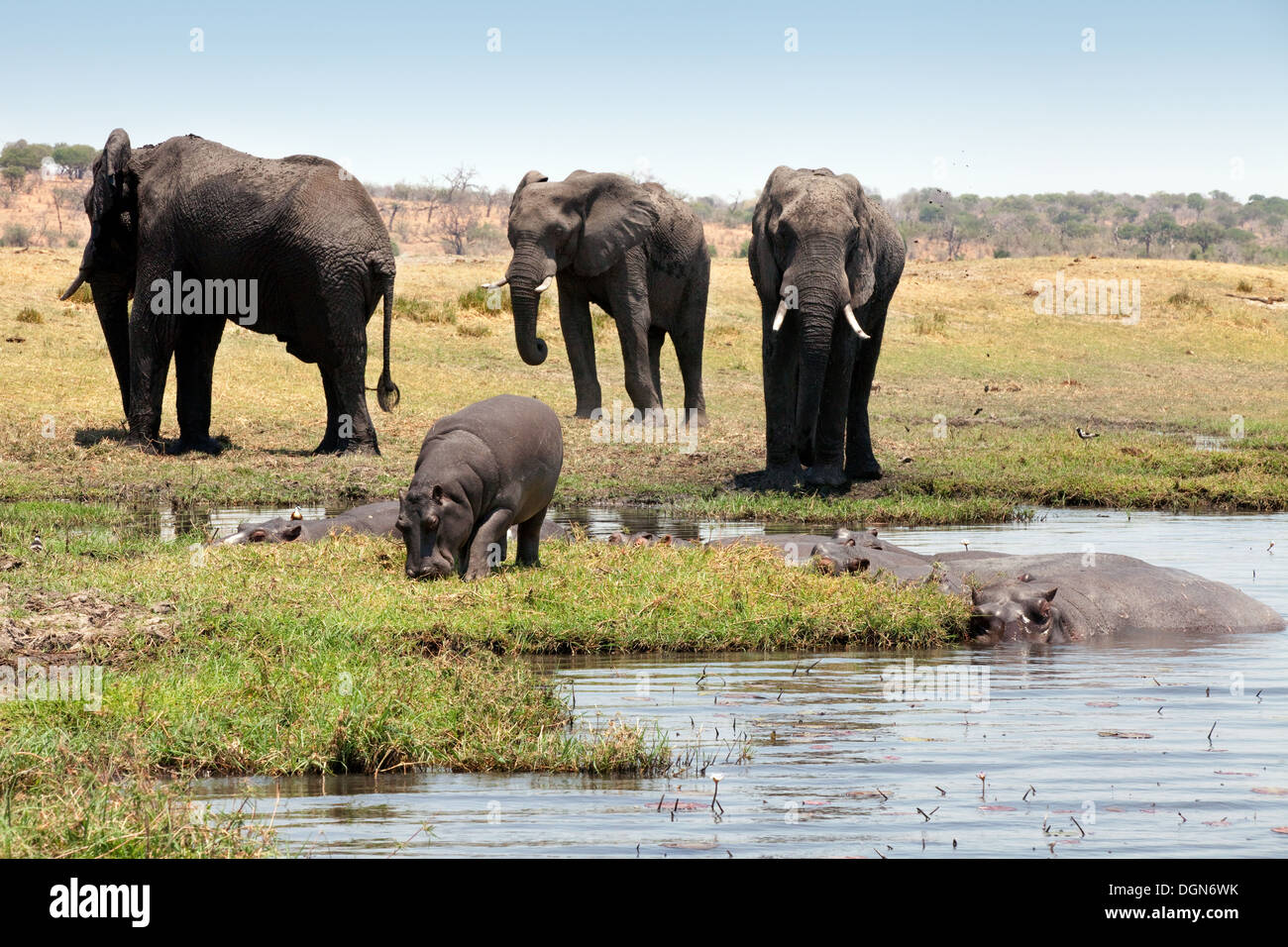 African elephants and hippos on the banks of the River Chobe, Chobe National park, Botswana Africa - Stock Image