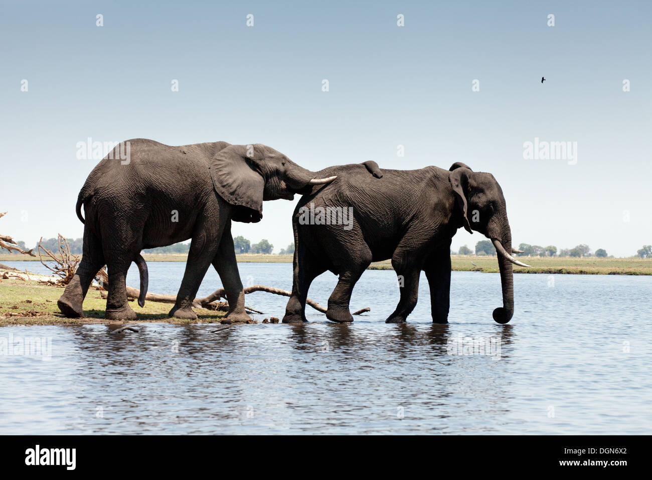 Two African elephants (Loxodonta Africana ) crossing the Chobe River, Chobe National park, Botswana Africa - Stock Image