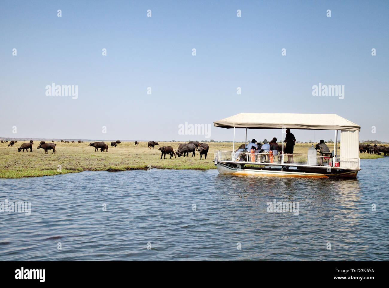 Tourists on a Chobe river cruise safari watching a herd of buffalo, Chobe National Park, Botswana Africa - Stock Image