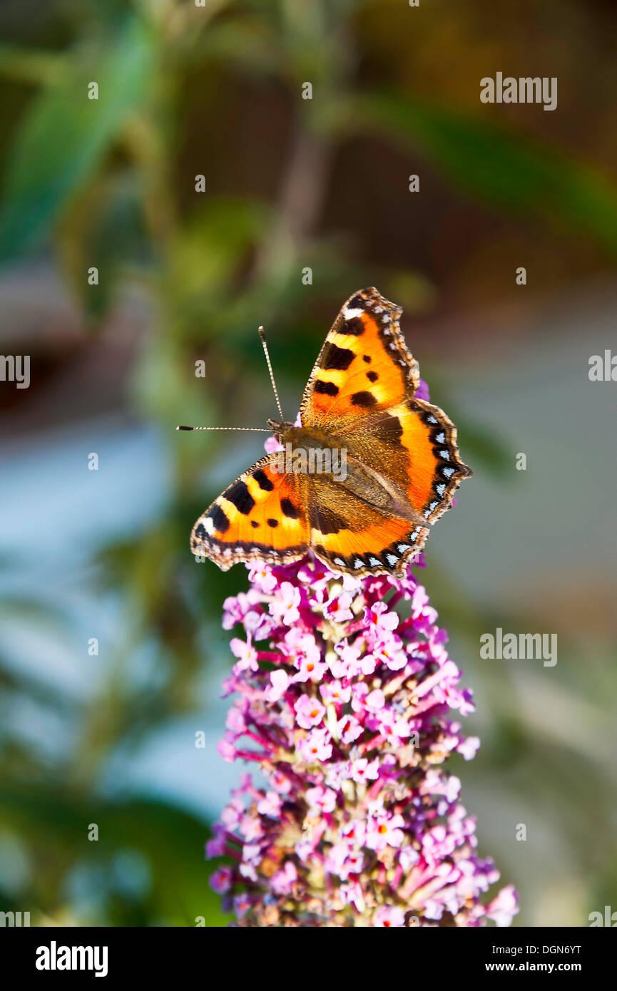 A Small Tortoiseshell Butterfly Feeding on Nectar on a Buddleja Flower in a Cheshire Garden England United Kingdom UK - Stock Image