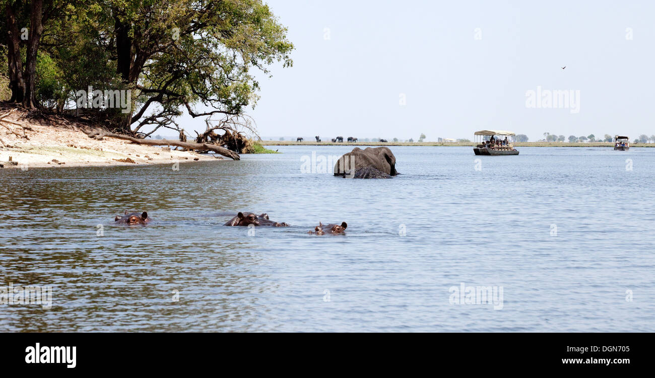 Chobe river cruise with hippos and elephants swimming, Chobe National park, Botswana, Africa - Stock Image