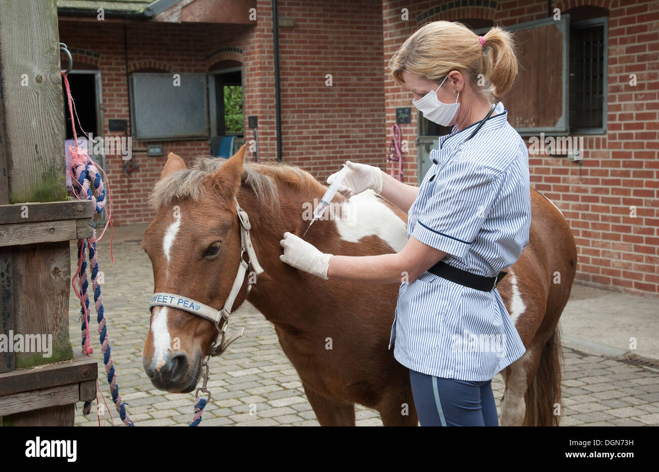 Veterinary nurse treating a Skewball pony Injecting with a large syringe - Stock Image