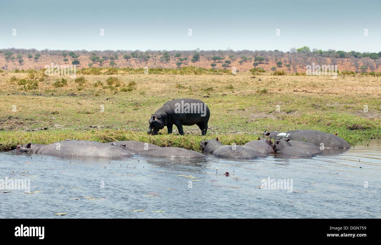Hippo (Hippopotamus amphibius) - Hipposon the bank of, and in the  Chobe river, Botswana, Africa - Stock Image