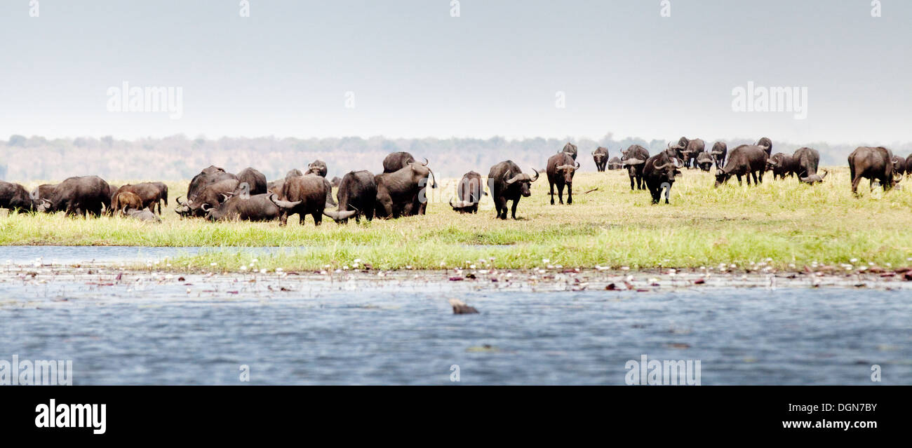 Herd of African or Cape buffalo ( Syncerus caffer ), Chobe National park, Botswana, Africa - Stock Image