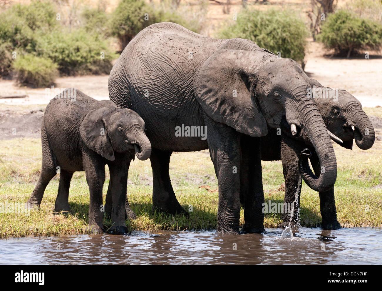 Three african elephants drinking from the Chobe River, Chobe National park, Botswana, Africa - Stock Image