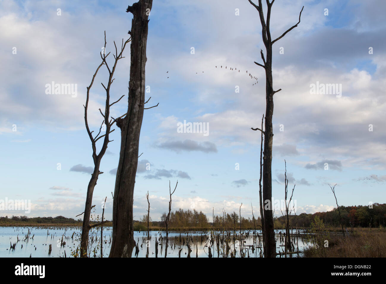 """Geese flying over """"de Peel"""" during autumn in The Netherlands Stock Photo"""