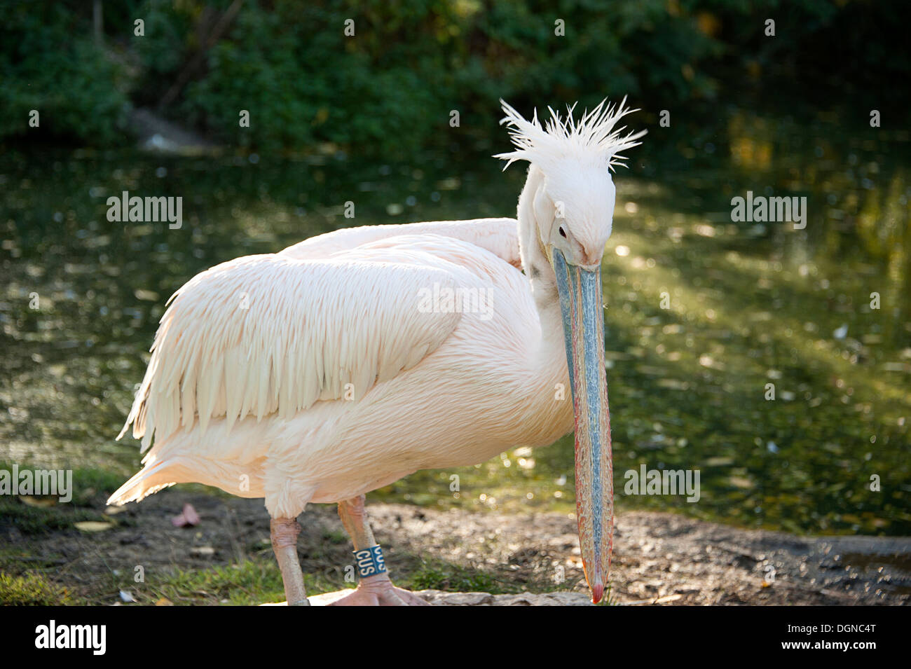 Elegant Great White Pelican at London Zoo. Stock Photo