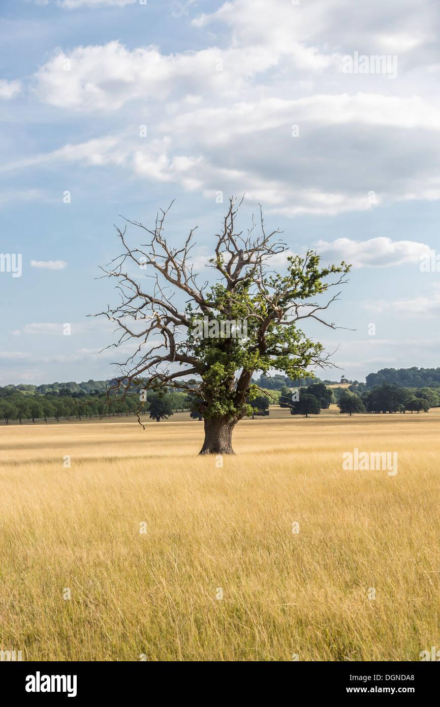 Dying oak Tree in Windsor Great Park, Berkshire, England showing die-back possibly due to sudden oak death / acute oak decline - Stock Image