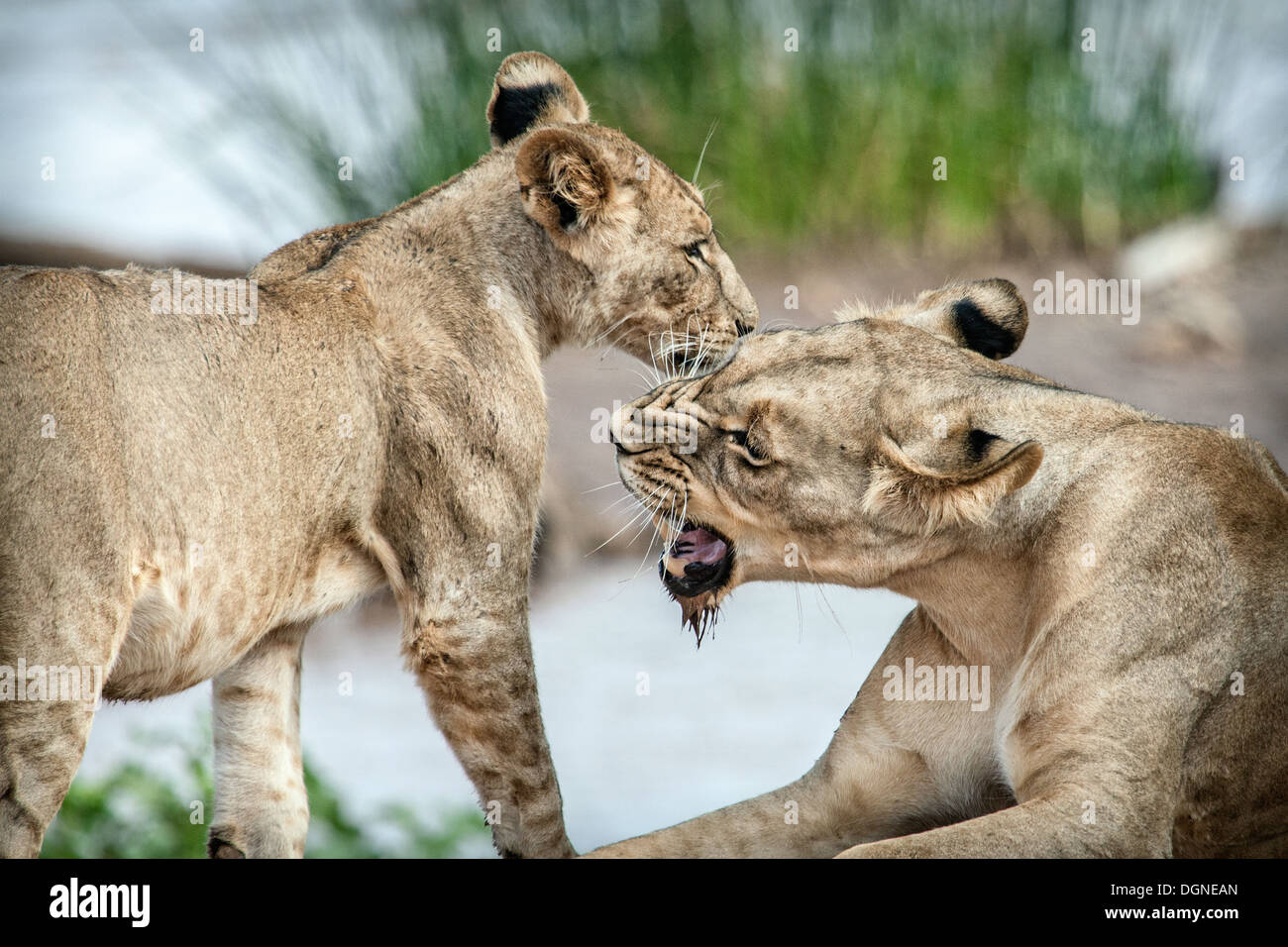 snarling lions - Stock Image