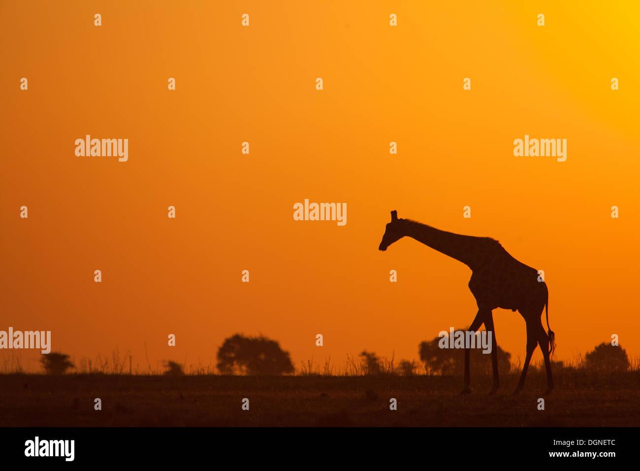 Giraffe Sunset - Stock Image