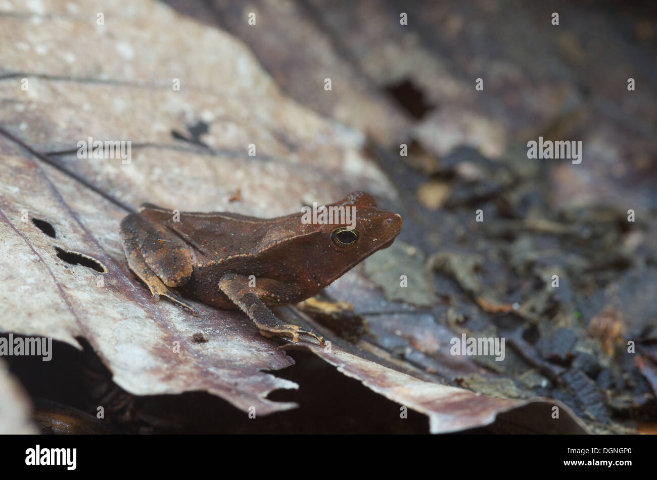 A Crested Forest Toad (Rhinella margaritifera) camouflaged in the leaf litter in the Amazonian rainforest in Loreto, Peru. - Stock Image