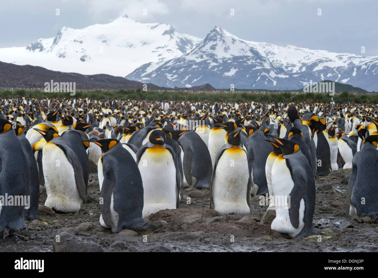 King Penguins (Aptenodytes patagonicus) adult birds incubating eggs, breeding colony, Salisbury Plain, South Georgia and the - Stock Image