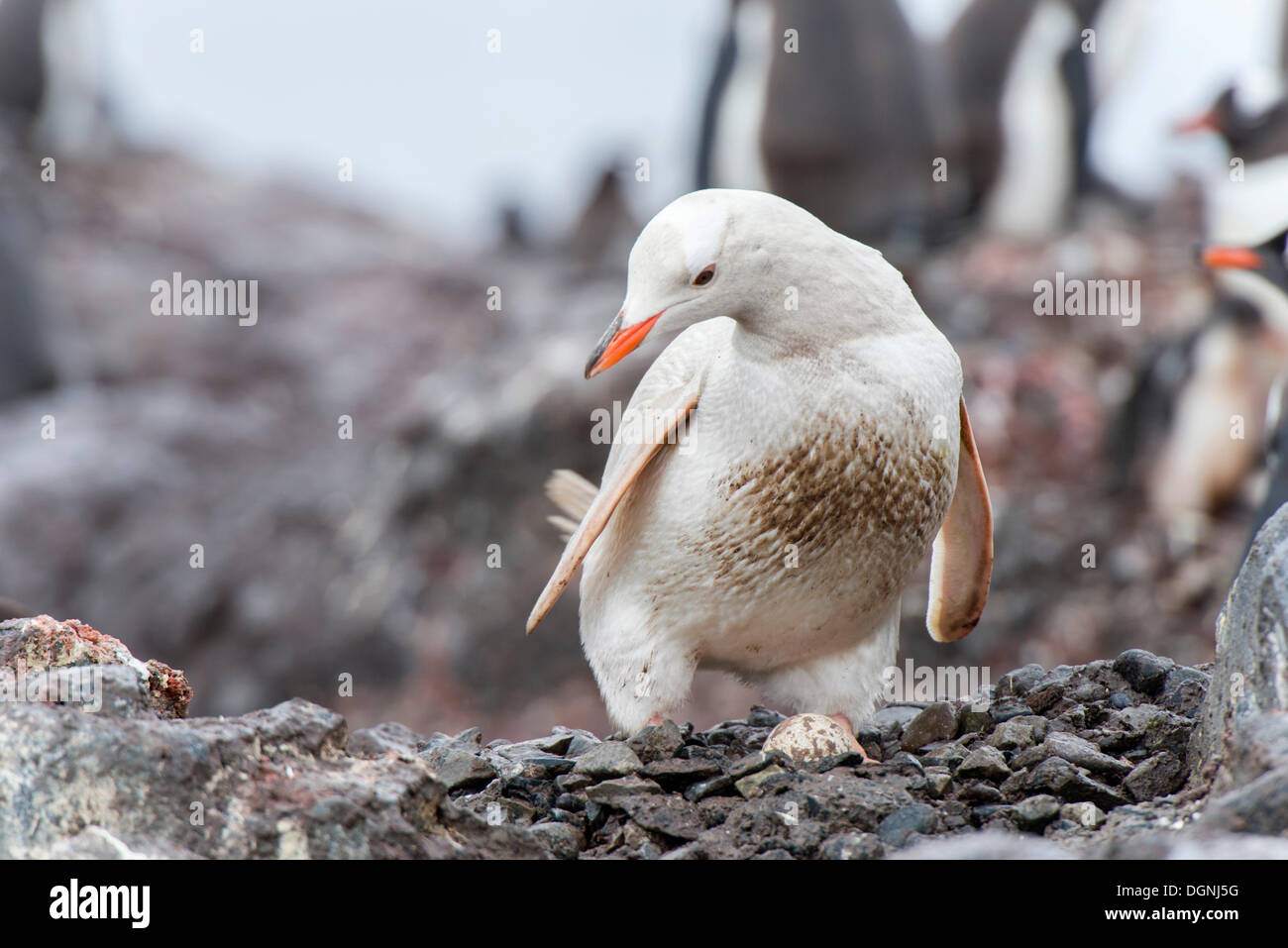 Gentoo Penguin (Pygoscelis papua), rare leucistic example with an egg, Waterboat Point, Paradise Bay, Antarctic Peninsula - Stock Image