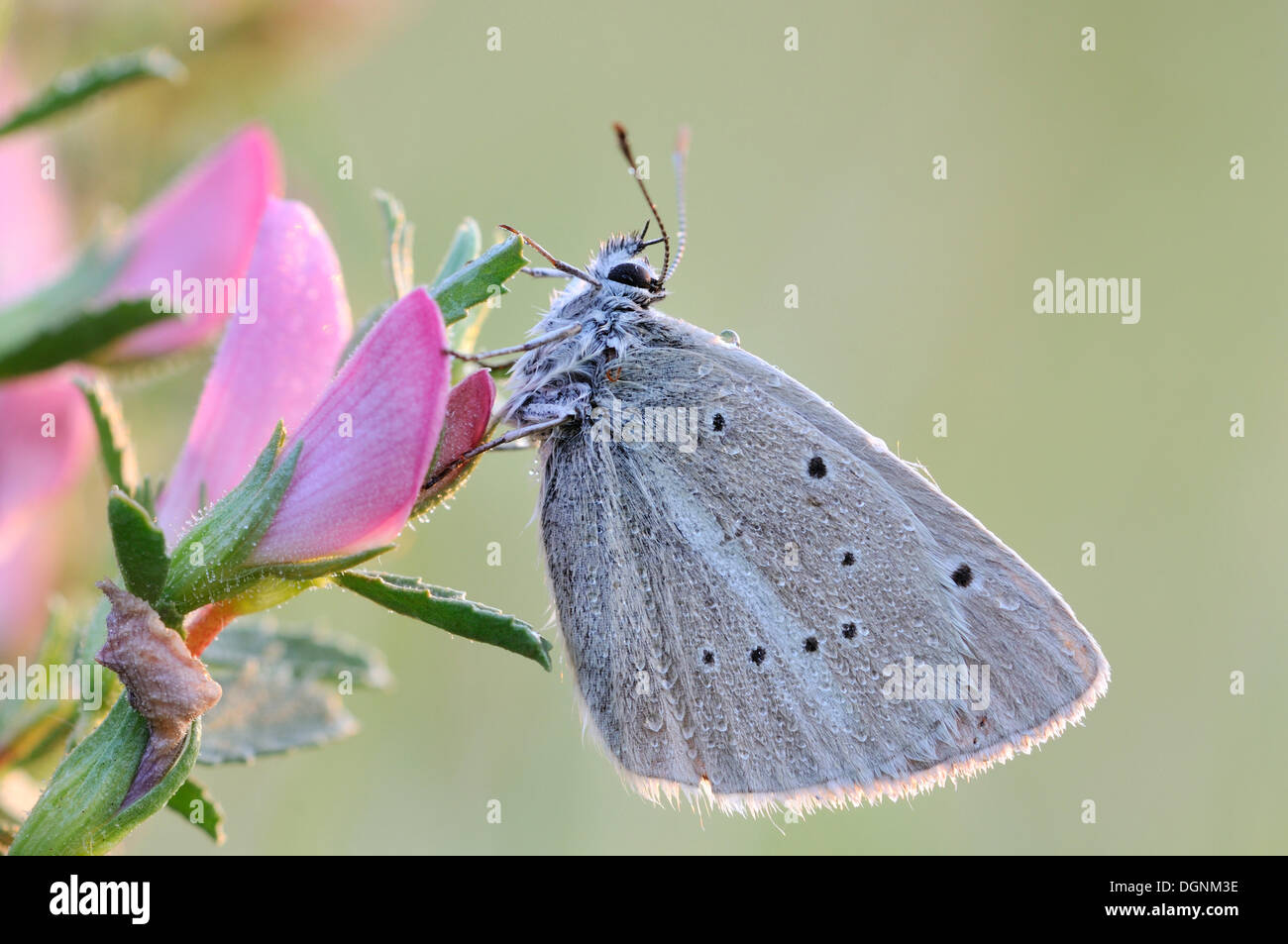Damon Blue Butterfly (Polyommatus damon), Red List of Germany, category 1, threatened with extinction, Rana, Czech Republic - Stock Image