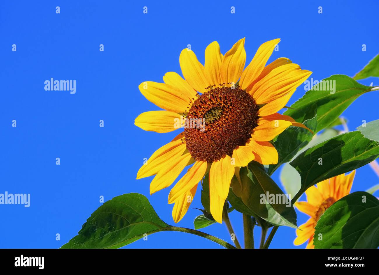 Sonnenblumen - sunflowers 38 Stock Photo