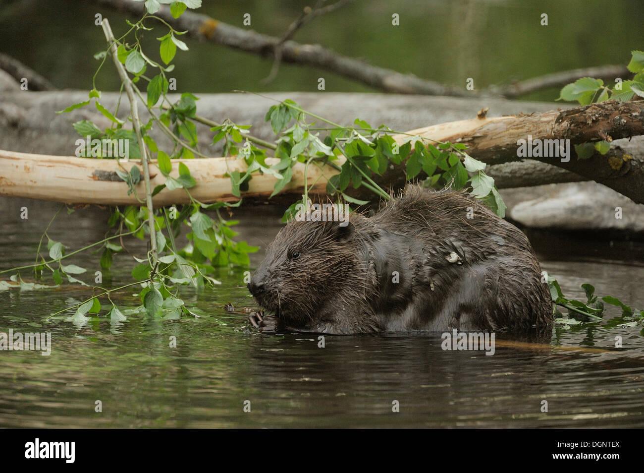 Eurasian Beaver or European Beaver (Castor fiber), Danube-Auen, Gross-Enzersdorf, Lower Austria, Austria Stock Photo