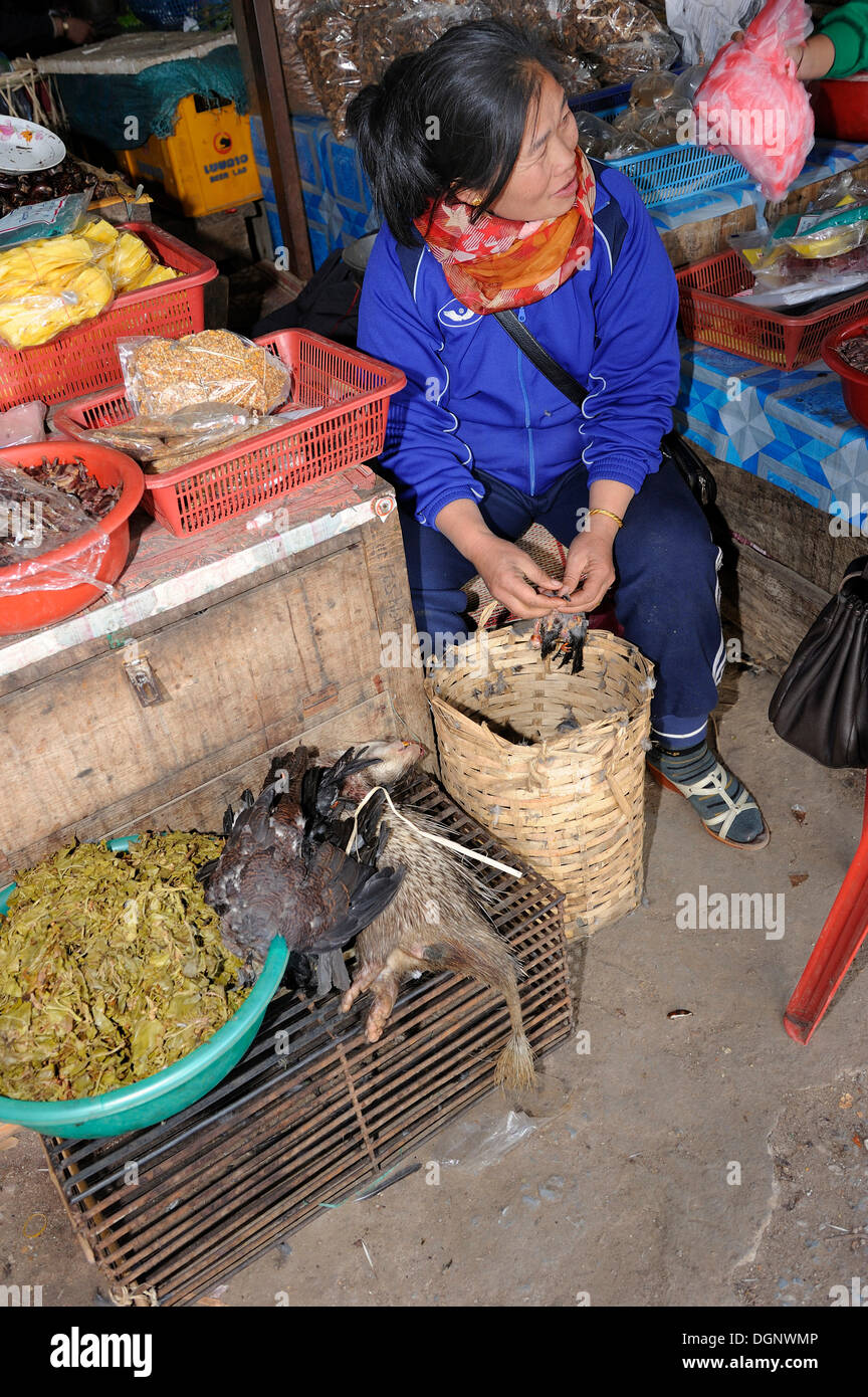 Market woman plucking a songbird for sale as meat on the weekly market in the town of Phansavan, Laos, Southeast Asia, Asia - Stock Image