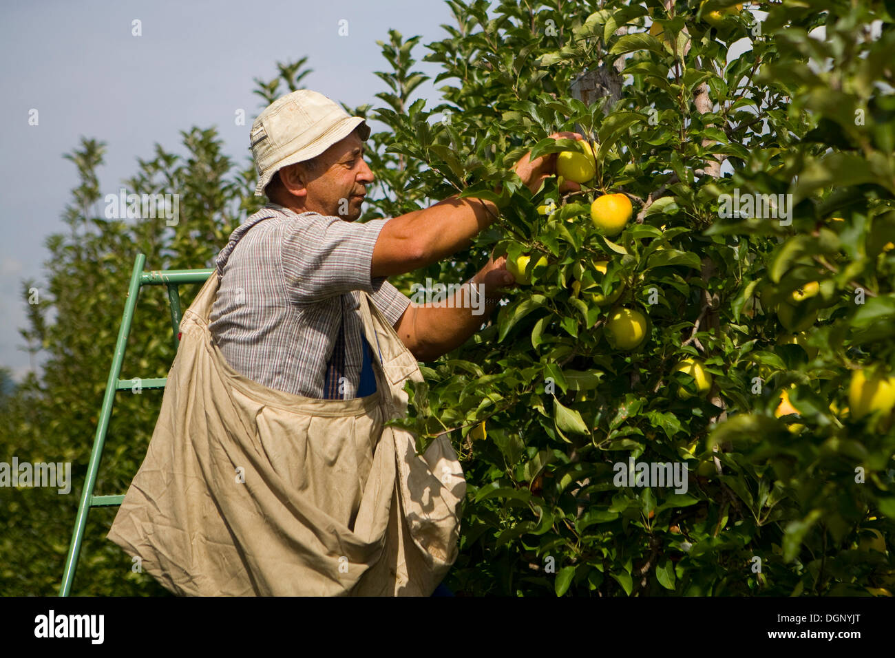 Man Picking Apples Province Of Bolzano Bozen Italy Europe