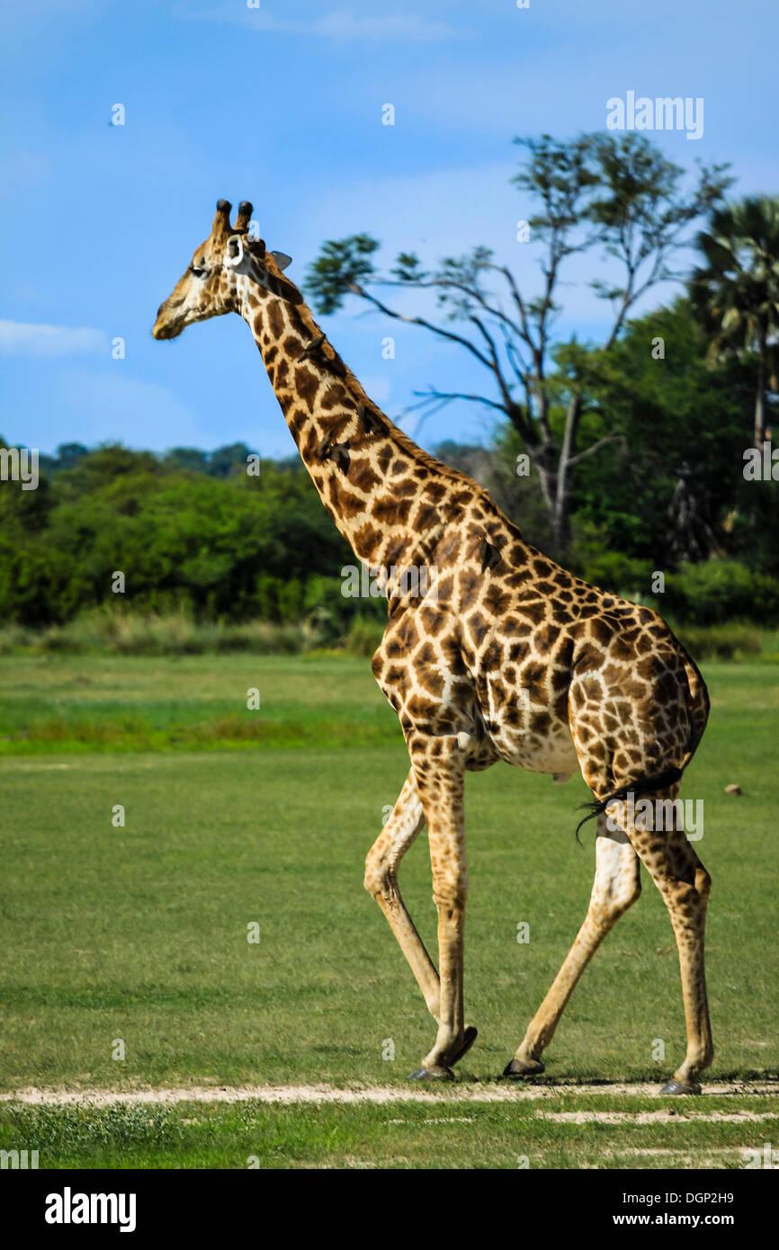 Giraffe (Giraffa camelopardalis), male, Bwabwata National Park, Caprivi National Park, Mahango National Park, Caprivi, Namibia - Stock Image