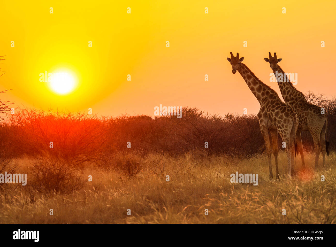 Giraffes (Giraffa camelopardalis) in front of sunset, Namibia, Africa - Stock Image