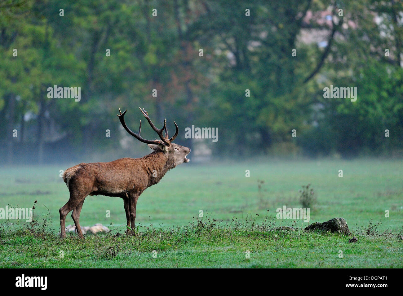 Male of red deer (Cervus elaphus), Cervidae, Civitella Alfedena, Abruzzo National Park, Italy - Stock Image