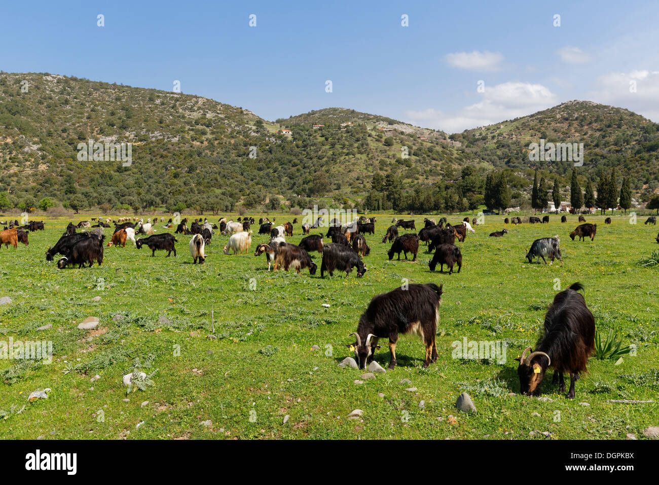 Herd of goats, Karaburun Peninsula, Çeşme Peninsula, İzmir Province, Aegean Region, Turkey - Stock Image