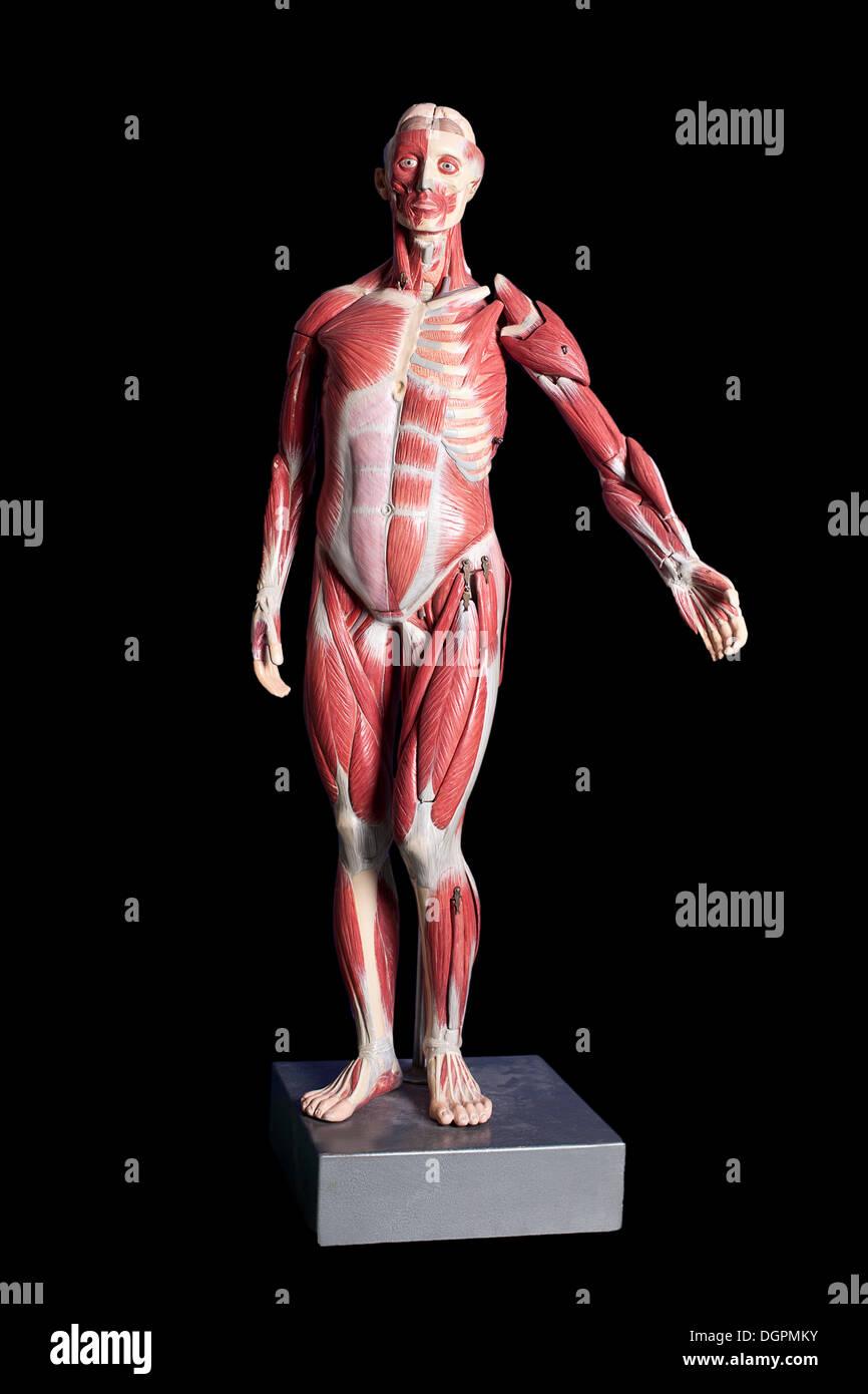 Anatomical Model Human Muscles Stock Photo 61964783 Alamy