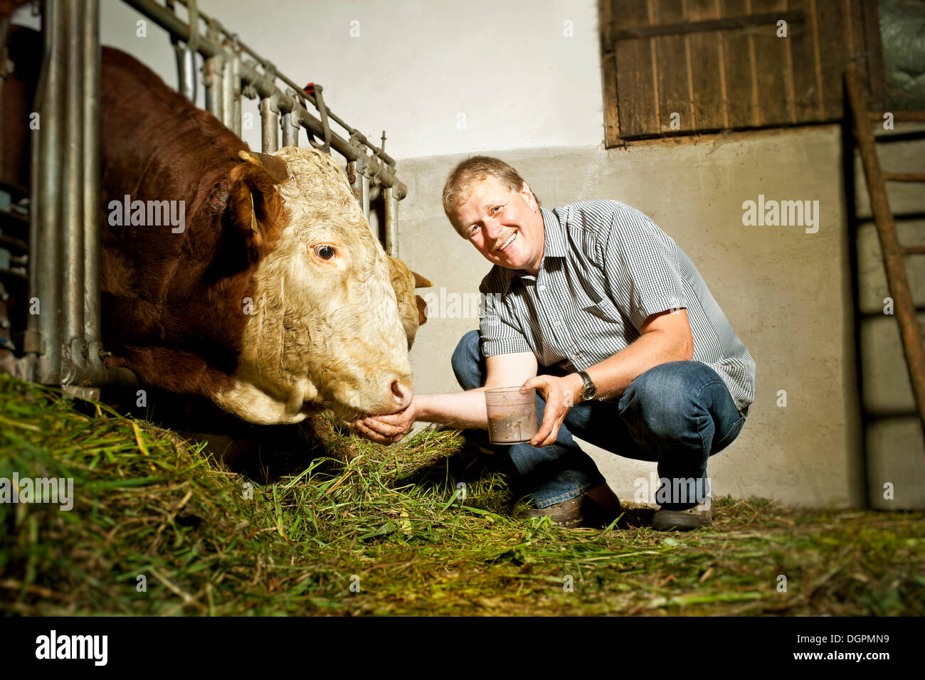 Farmer feeding a bull - Stock Image