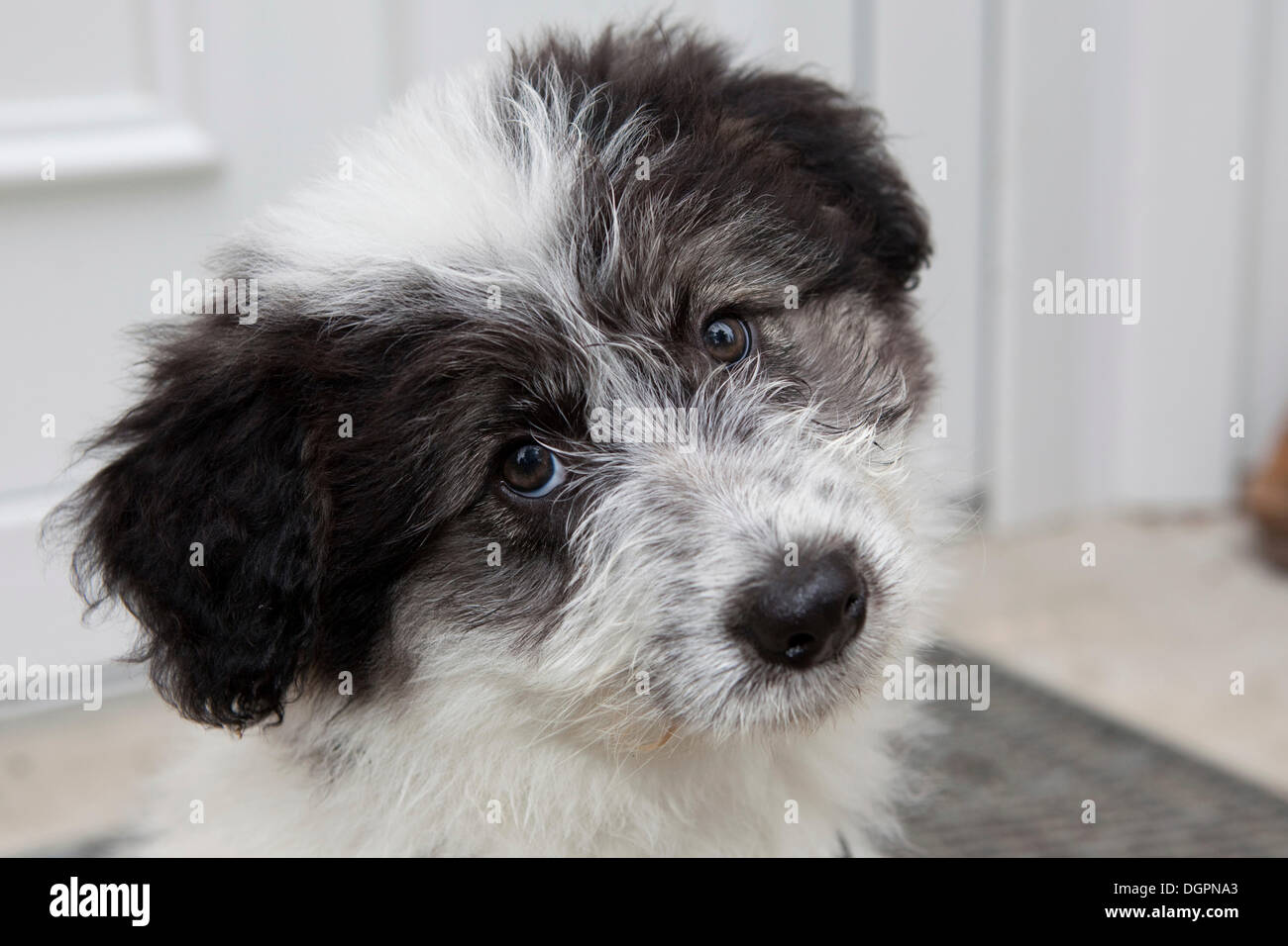Mixed-breed Dog (Canis lupus familiaris), portrait Stock Photo