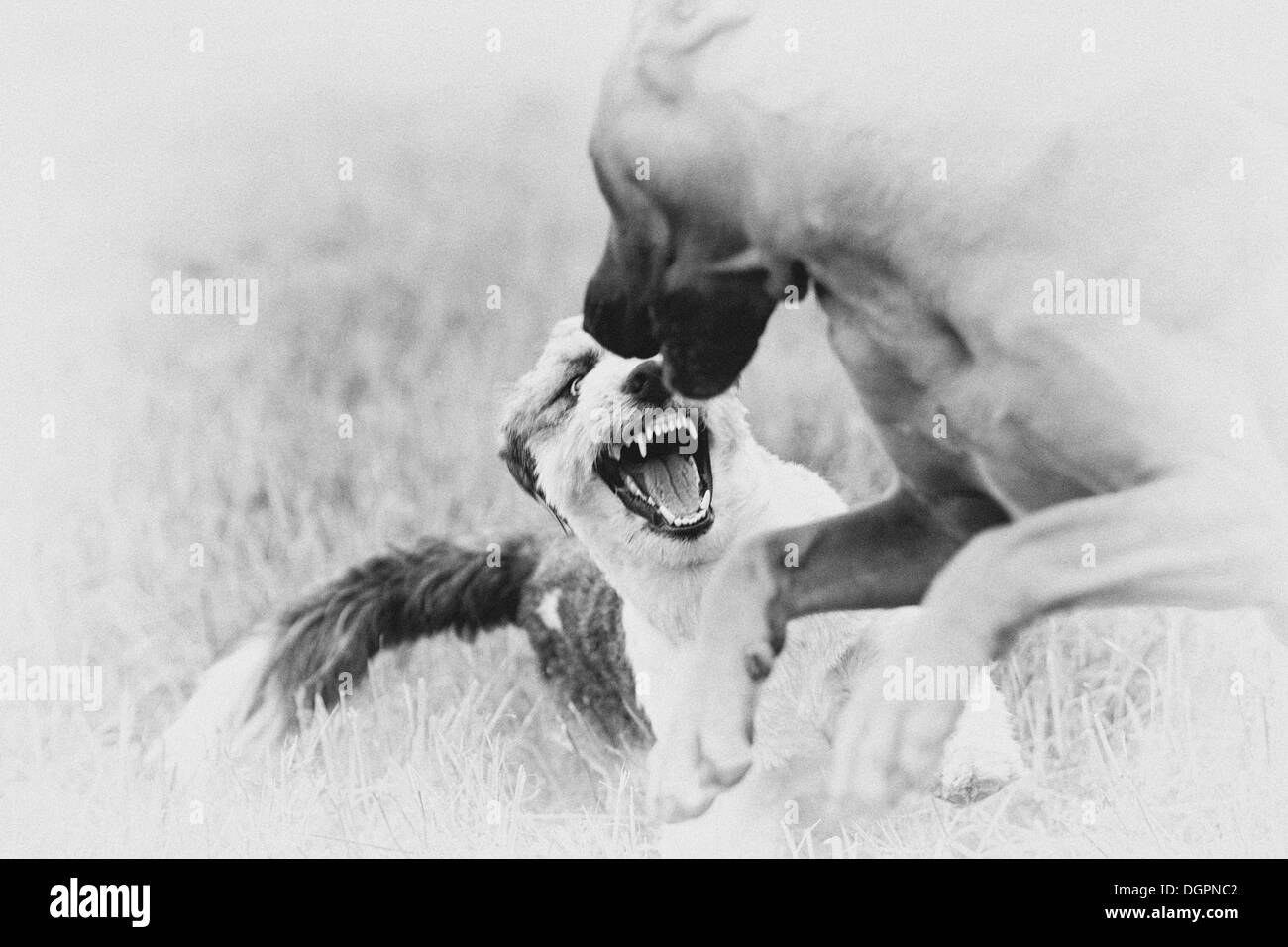 Dog playfully defending itself against another dog - Stock Image