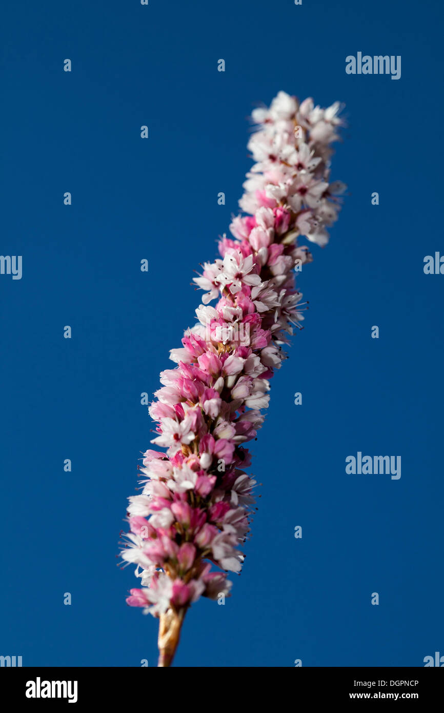 Inflorescence of a garden dappled Knotweed (Bistorta affinis), Botanical Garden, Berlin - Stock Image