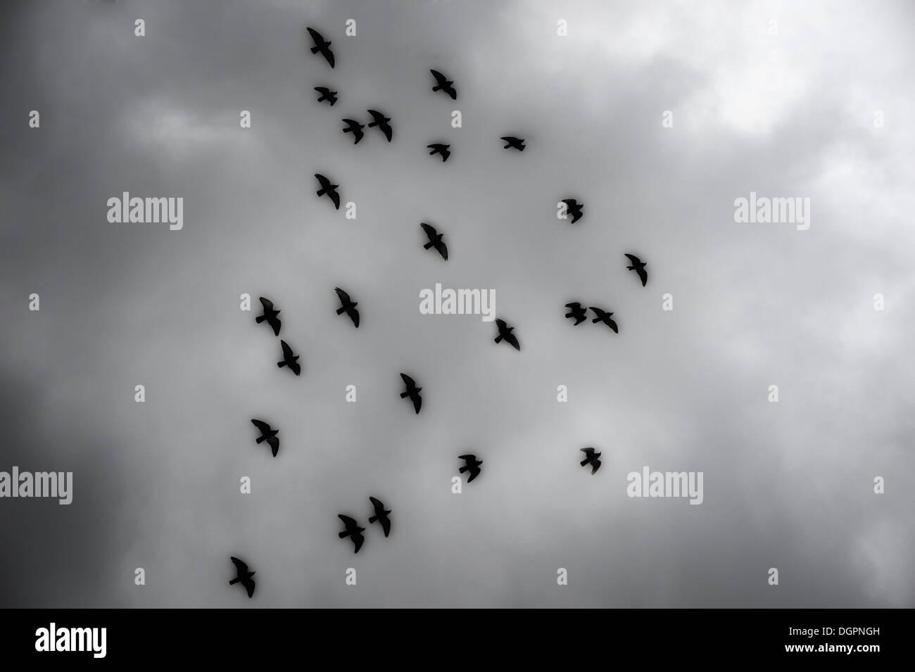 Dark Black Birds Flying In Stormy Cloudy Sky - Stock Image