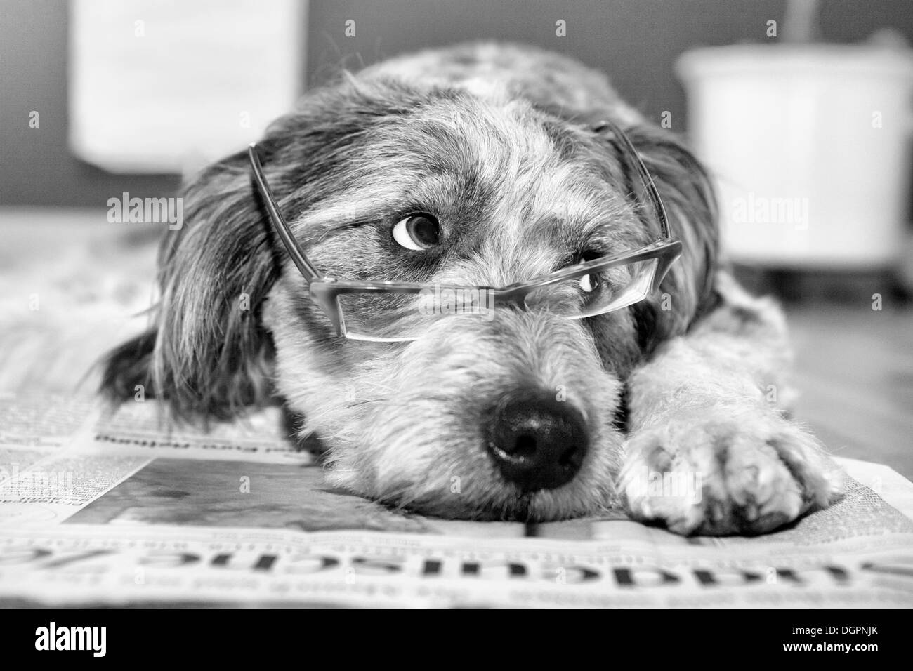 Dog lying on a newspaper wearing glasses - Stock Image
