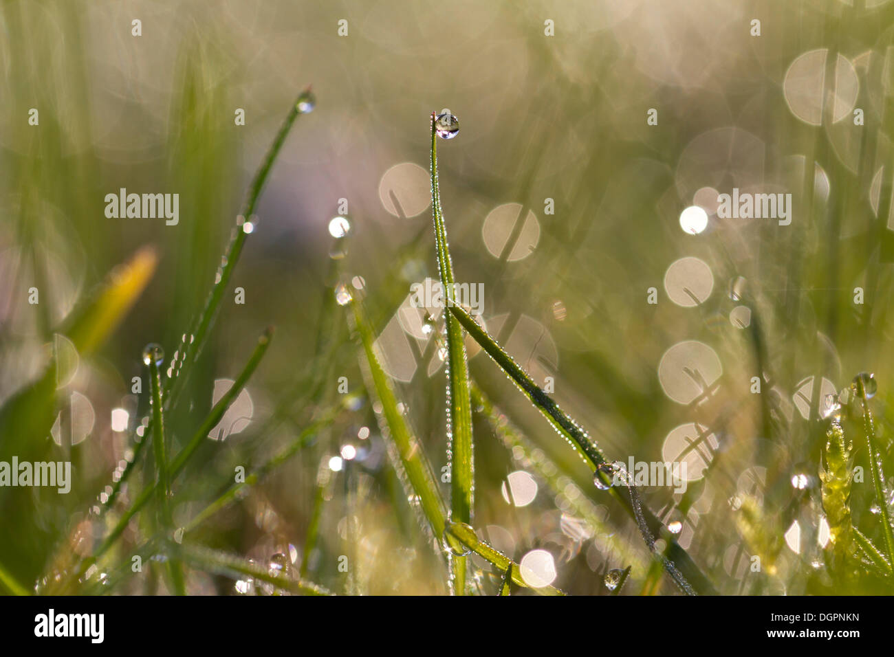 Blades of grass with sparkling dew drops in the morning lightNON EXCLUSIVE USAGE FOR CALENDAR, 2015, TERRITORY: D, A, CH - Stock Image