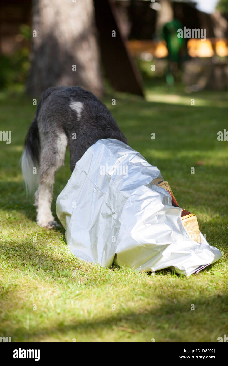 Mixed-breed dog crawling into an empty feed bag to search for the last crumbs - Stock Image